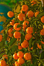 A Tree With Many Oranges Stock Photography - 4442422