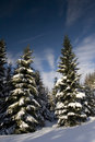 Pines Under The Snow Royalty Free Stock Photography - 4444497
