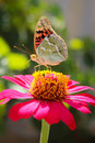 Vanessa Cardui Butterfly On The Flower Zinnia Stock Image - 44402671