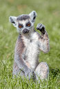 Baby Ring-Tailed Lemur Royalty Free Stock Photo - 44404525