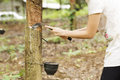 Tapping Latex From The Rubber Tree Royalty Free Stock Photos - 44450198