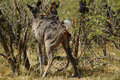African Greater Kudu Cow Stock Image - 44470941