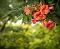 Campsis Radicans Flowers Isolated On White Background Stock Photo - 44472420