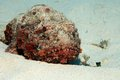 Spotted Scorpionfish Royalty Free Stock Photos - 44489178