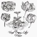 Collection Of Vector Hand Drawn Vector Lotus  Flowers Stock Photo - 44490330
