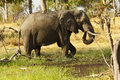 African Elephant Eating Minerals Stock Photo - 44494920