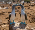 Blue-footed Boobies Royalty Free Stock Photography - 4452697