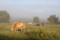 Horses Grazing In Farm Pasture At Foggy Sunrise Stock Images - 44504244