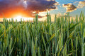 Green Wheat Field Royalty Free Stock Photos - 44519578
