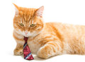 Serious  Cat With A  Tie Royalty Free Stock Photos - 44519948