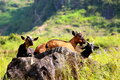 Family Of Goats Soaking Up The Early Morning Rays Of Sunshine Royalty Free Stock Images - 44521379