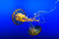 Jelly Fish In Blue Water Royalty Free Stock Photography - 44525647