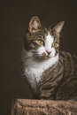 Cute Young Tabby Cat With White Chest Sitting On Scratching Post Against Dark Fabric Background. Stock Photo - 44571690