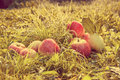 Fruit Red Apples On A Grass. Retro Toned Stock Image - 44584651
