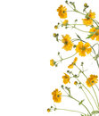 Floral Border Of  Yellow Flowers, Isolated Royalty Free Stock Photo - 44589025