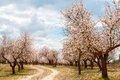 Almond Tree Orchard Stock Images - 44591724