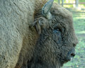 European Bison Stock Photography - 44599642