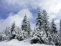 Winter Pines Royalty Free Stock Images - 4461879