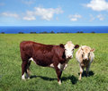 Cows On Green Grass Royalty Free Stock Images - 4462709