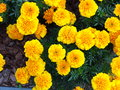 Yellow Flowers In The Garden. Marigold Tagetes Stock Image - 44629371