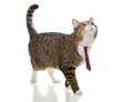 Grey  Cat With A Red Tie Stock Image - 44633991