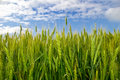 Young Ears Of Grain On The Background Of Blue Sky Stock Image - 44642861