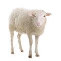 Sheep Isolated On White Royalty Free Stock Images - 44660729