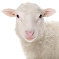Sheep Isolated On White Royalty Free Stock Photography - 44660917