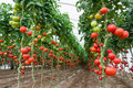 Tomatoes In A Greenhouse Stock Photo - 44667180