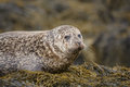 Mottled Grey Seal Royalty Free Stock Photos - 44677098