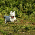 West Highland White Terrier Stock Photography - 44682272