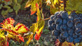 Grape Harvest Time Royalty Free Stock Photo - 44700545