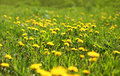 Sunny Spring Background Field Yellow Dandelions Royalty Free Stock Images - 44704359