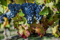 Grape Harvest Time Royalty Free Stock Image - 44704696