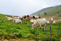 Cows In The Mountain Pastures Stock Photo - 44704890