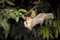 Gambian Epauletted Fruit Bat (Epomophorus Gambianus) Flying With A Baby On The Belly. Royalty Free Stock Photography - 44716187