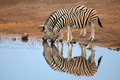 Plains Zebras Drinking Water Stock Photos - 44728653