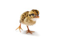 Baby Bird Royalty Free Stock Image - 44745216