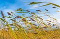 Reeds In The Wind Stock Photography - 44761422