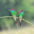 Blue Throated Bee Eater Stock Photography - 44780462
