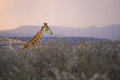 Colourful African Sunrise In A Giraffe South Africa Royalty Free Stock Images - 44815669