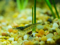 Amano Shrimp Stock Images - 44870244