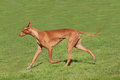 Pharaoh Hound Pacing Stock Image - 44886641