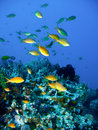 Tropical Coral Reef Fish Royalty Free Stock Image - 4494286