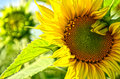 Sunflower In Field Royalty Free Stock Photos - 44923418