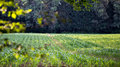 Deer Foraging On The Crop In An Agricultural Field Stock Photos - 44930503