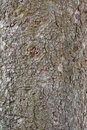 The Texture Of The Bark Of An Old Tree Royalty Free Stock Image - 44945806