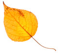 Yellow Poplar Leaf Isolated Stock Image - 44948311