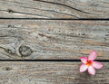 Wood Texture Background With Fresh Pink Plumeria Or Templetree Flower Stock Photo - 44951800
