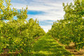 Rows Of Green Apple Trees Stock Photography - 44962602